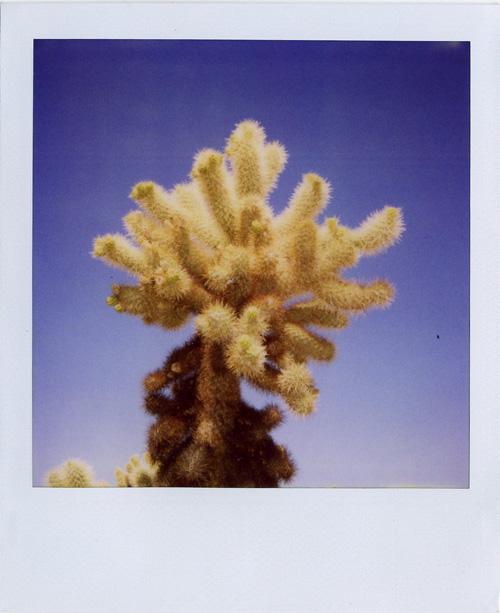 Joshua_tree1